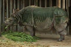 Rinoceronte vagueando Imagem de Stock Royalty Free