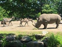 Rinoceronte y amigo de las cebras en el parque zoológico Fotografía de archivo
