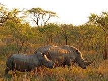 Rinoceronte y becerro Imágenes de archivo libres de regalías