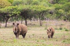 Rinoceronte y becerro blancos Suráfrica fotografía de archivo libre de regalías