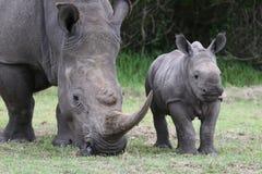 Rinoceronte y madre del bebé Fotos de archivo