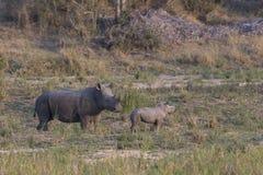 Rinoceronte y madre nuevamente llevados en salvaje Fotos de archivo libres de regalías