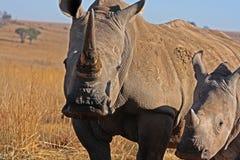 Rinoceronte y madre que recorren en el campo Foto de archivo libre de regalías