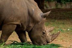 Rinoceronte y sus claxones imagenes de archivo