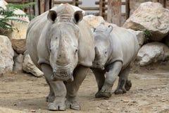 Rinocerontes Fotografía de archivo
