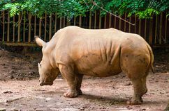 Rinocerontes Imagens de Stock
