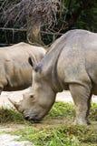 rinocerontes Imágenes de archivo libres de regalías