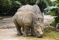 rinocerontes Fotos de archivo libres de regalías