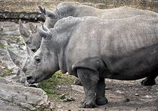 Rinocerontes africanos 3 Fotografia de Stock Royalty Free