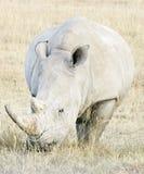 Rinocerontes blancos Fotos de archivo