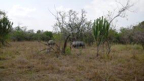 Rinocerontes blancos salvajes africanos adultos raros que pastan por los arbustos en la protección metrajes