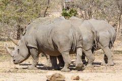Rinocerontes blancos tres de detrás Fotos de archivo libres de regalías