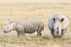 Rinocerontes brancos Imagem de Stock