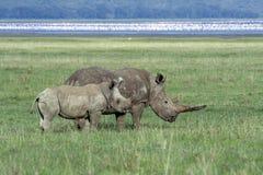Rinocerontes brancos na frente dos flamingos, Kenya Imagens de Stock