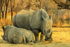 Rinocerontes brancos raros: Mamã com Beby! Imagens de Stock