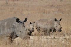 Rinocerontes com vitela Fotos de Stock