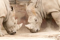 Rinocerontes da guerra dois na natureza Fotografia de Stock