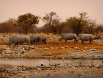 Rinocerontes de Namíbia Fotos de Stock