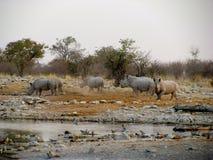 Rinocerontes de Namíbia Imagens de Stock