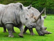 Rinocerontes de Twho Imagen de archivo libre de regalías