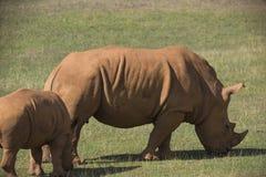 Rinocerontes del adulto y del bebé en prado Foto de archivo