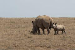 Rinocerontes do branco da mãe e do bebê Imagens de Stock Royalty Free
