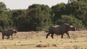 Rinocerontes en Kenia metrajes