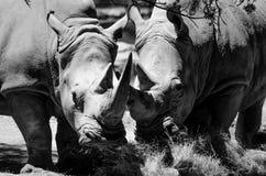 Rinocerontes en peligro imagen de archivo