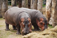 Rinocerontes no jardim zoológico de Copenhaga Fotos de Stock Royalty Free