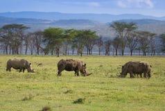 Rinocerontes no lago Nakuru Kenya fotografia de stock