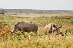 Rinocerontes, parque nacional de Kruger Foto de archivo libre de regalías