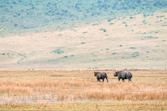 Rinocerontes que andam em Ngorongoro Fotos de Stock Royalty Free