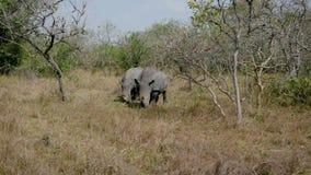 Rinocerontes salvajes africanos adultos salvajes raros que pastan la hierba por los arbustos en la reserva metrajes