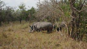 Rinocerontes salvajes africanos que pastan entre los arbustos en la reserva almacen de video