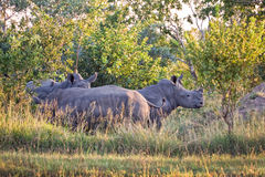 Rinocerontes, Suráfrica Imágenes de archivo libres de regalías