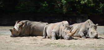 Rinoceronti Fotografia Stock Libera da Diritti