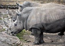 Rinoceronti africani Fotografia Stock Libera da Diritti