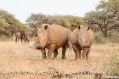 Rinoceronti bianchi che pascono Fotografia Stock Libera da Diritti