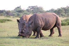 Rinoceronti bianchi che stanno DJE Fotografie Stock