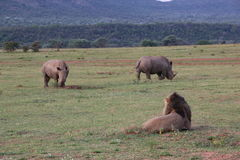 Rinoceronti bianchi di sorveglianza DJE del leone Fotografia Stock