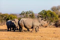 Rinoceronti bianchi nel parco di safari Fotografia Stock