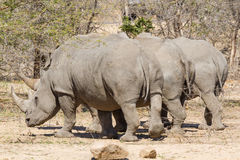 Rinoceronti bianchi tre da dietro Fotografie Stock Libere da Diritti