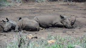 Rinoceronti del gruppo che dormono in un waterpool asciutto stock footage