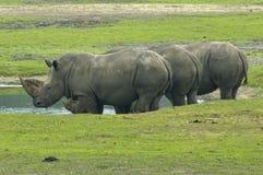 Rinoceronti in pascolo immagini stock