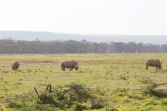 Rinoceronti in savana Fotografie Stock Libere da Diritti