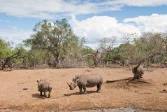 Rinoceronti in savana Fotografia Stock Libera da Diritti