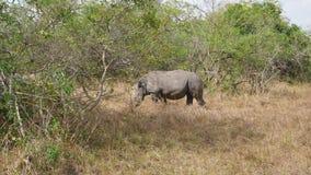 Rinoceronti selvaggi adulti africani che pascono fra i boschetti nella conservazione archivi video