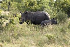 Rinoceronti selvaggi con il bambino (rinoceronte) Fotografie Stock