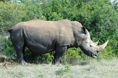 Rinoceros Stock Afbeeldingen