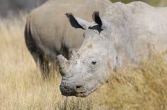 Rinoceros Royalty-vrije Stock Afbeeldingen